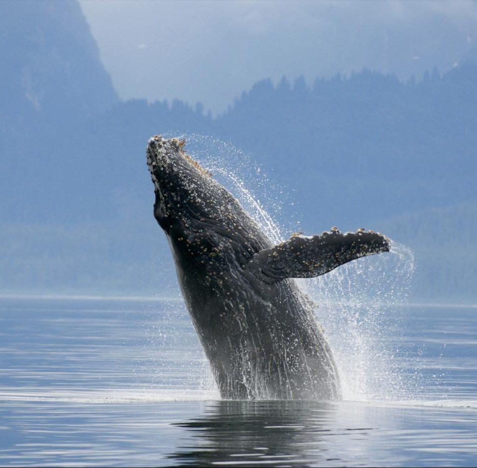 Endangered Blue Whales